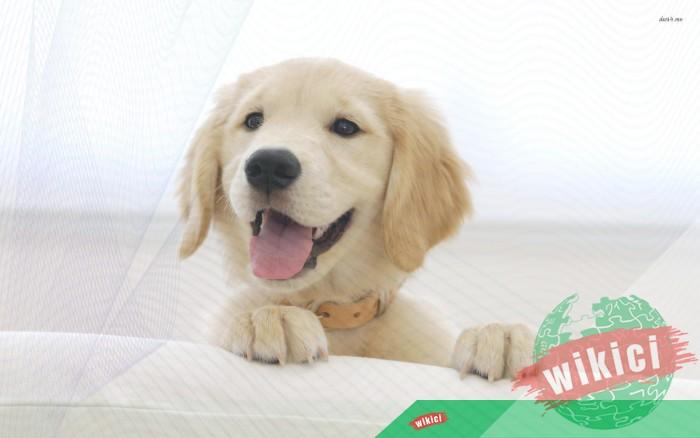 Hình nền con chó đẹp đáng yêu dễ thương nhất-33