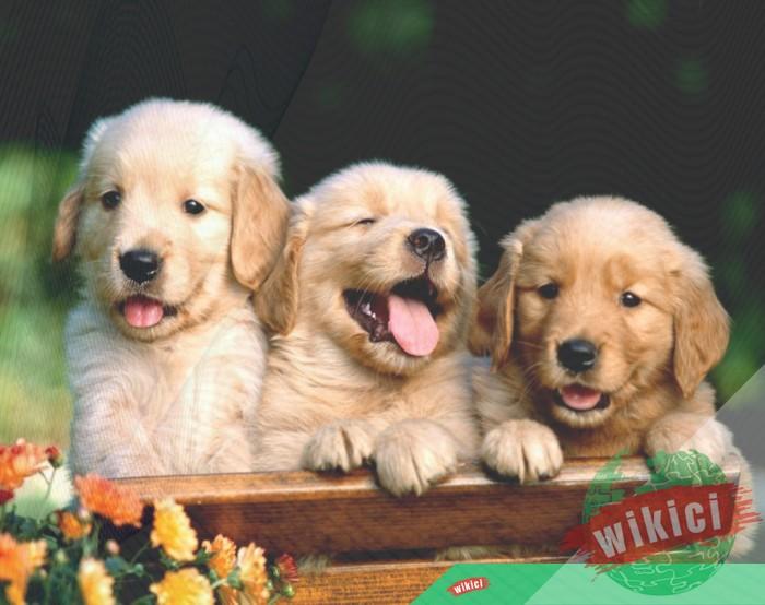 Hình nền con chó đẹp đáng yêu dễ thương nhất-36