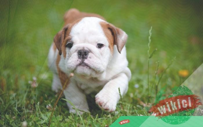 Hình nền con chó đẹp đáng yêu dễ thương nhất-5