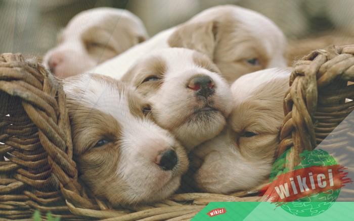 Hình nền con chó đẹp đáng yêu dễ thương nhất-7