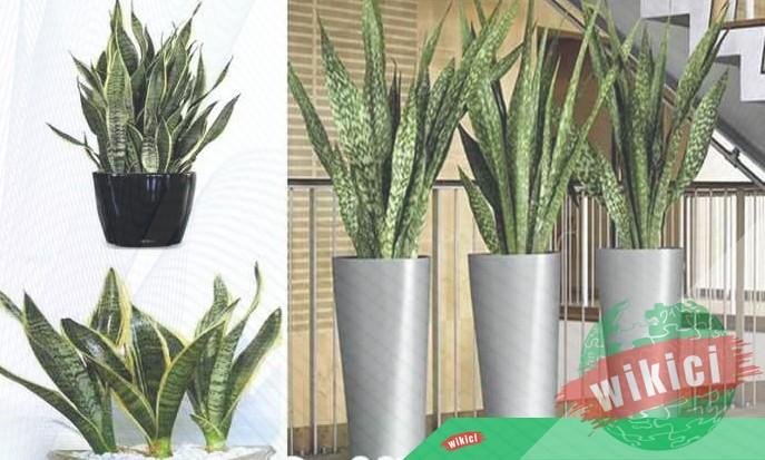 Kinh nghiệm trồng và chăm sóc cây lưỡi hổ-1