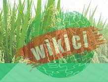 Thuyết minh về cây lúa – Loại cây lương thực chủ yếu ở nước ta-2