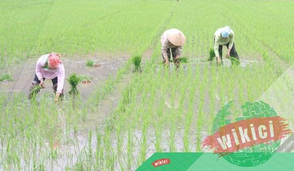 Thuyết minh về cây lúa – Loại cây lương thực chủ yếu ở nước ta-3