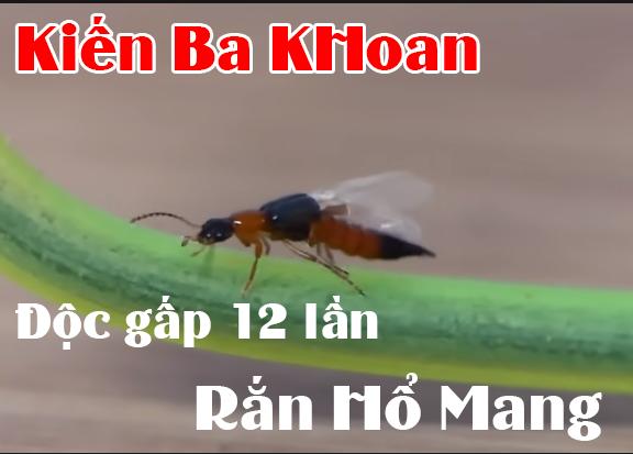 Kiến ba khoang là gì? Bị kiến ba khoang cắn bôi gì?
