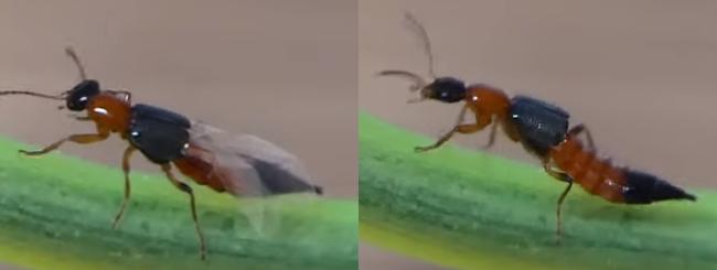 Cánh của kiến ba khoang trước và sau khi xếp lại