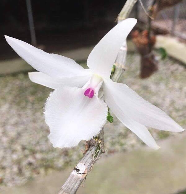 Phi điệp kiếnEaso xổra một mặt hoa đột biến